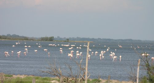 Flamingoes_0460